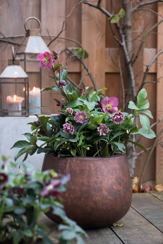 Helleborus is een winterbloeier voor de tuin