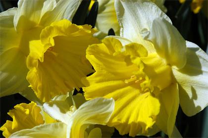 Narcis Topolino- lentebloeier van het jaar