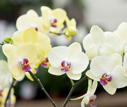 orchidee-verzorgen