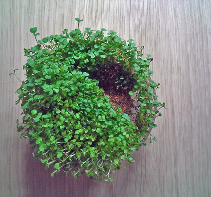 kiemgroente kweken