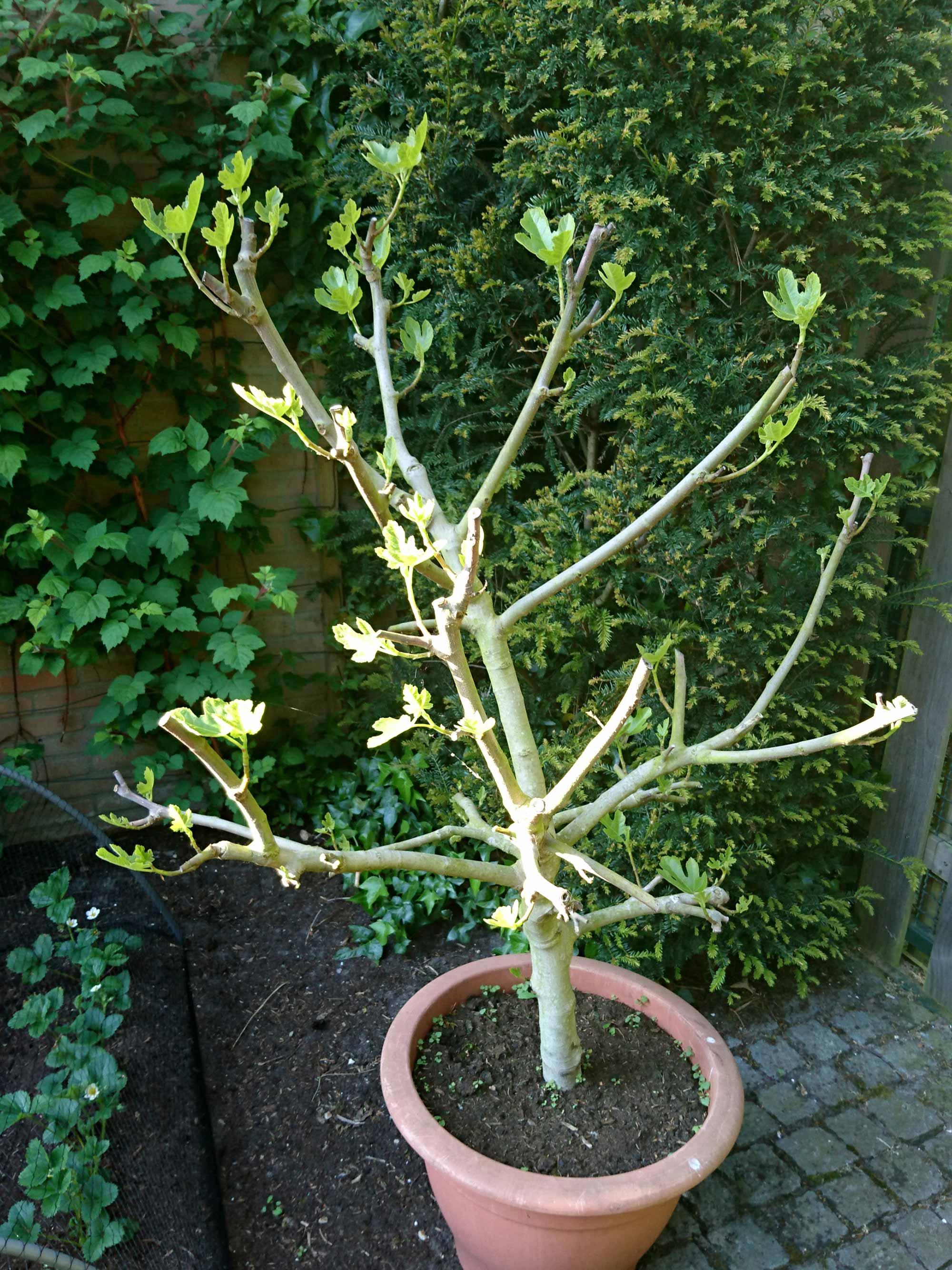 vijgenboom moestuin