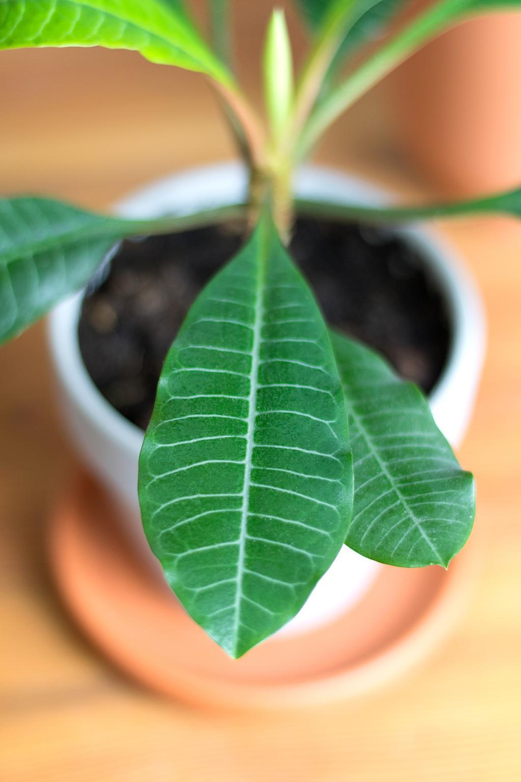 Blog vtwonen My Attic Madagascar palm plant