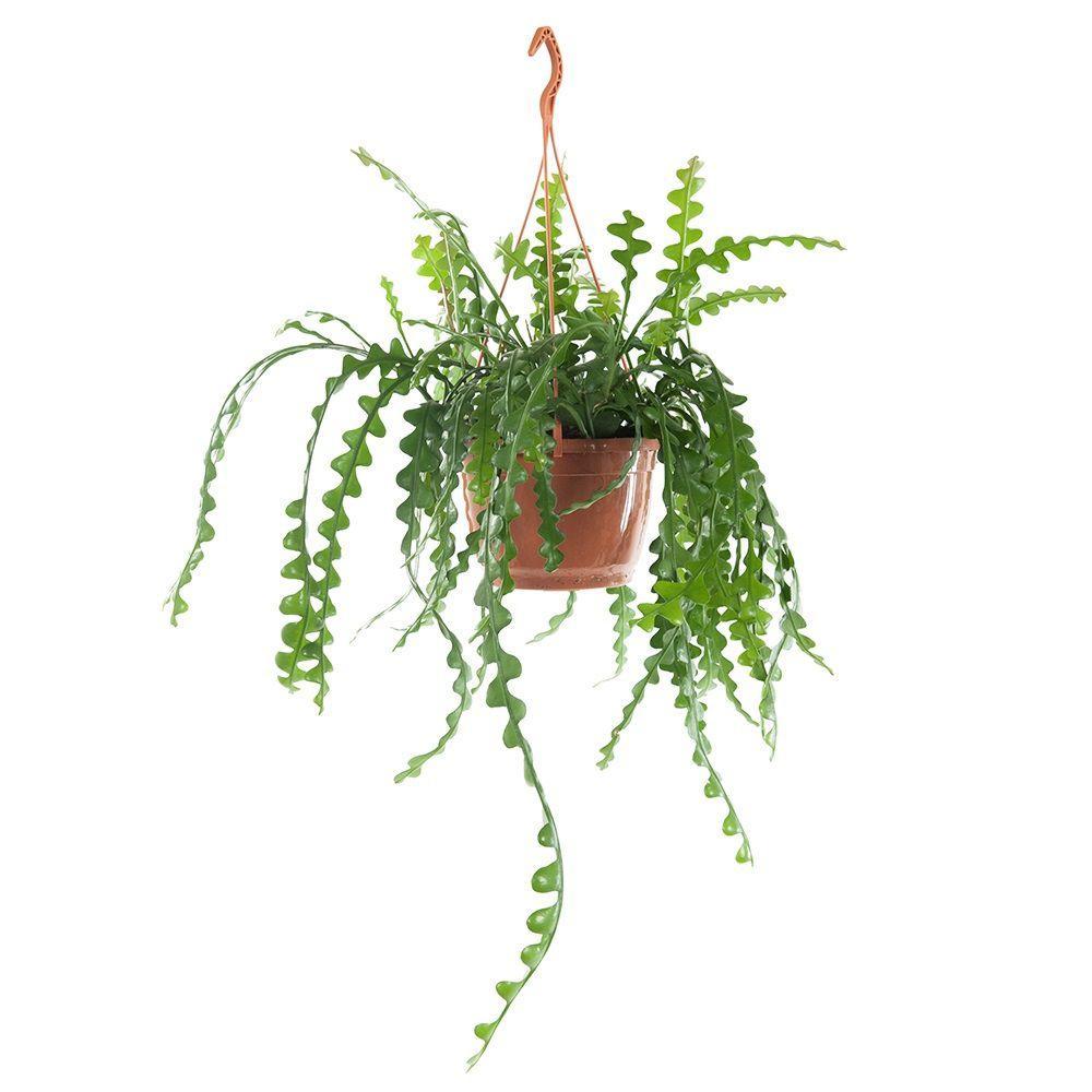 Epiphyllum plafondplanten