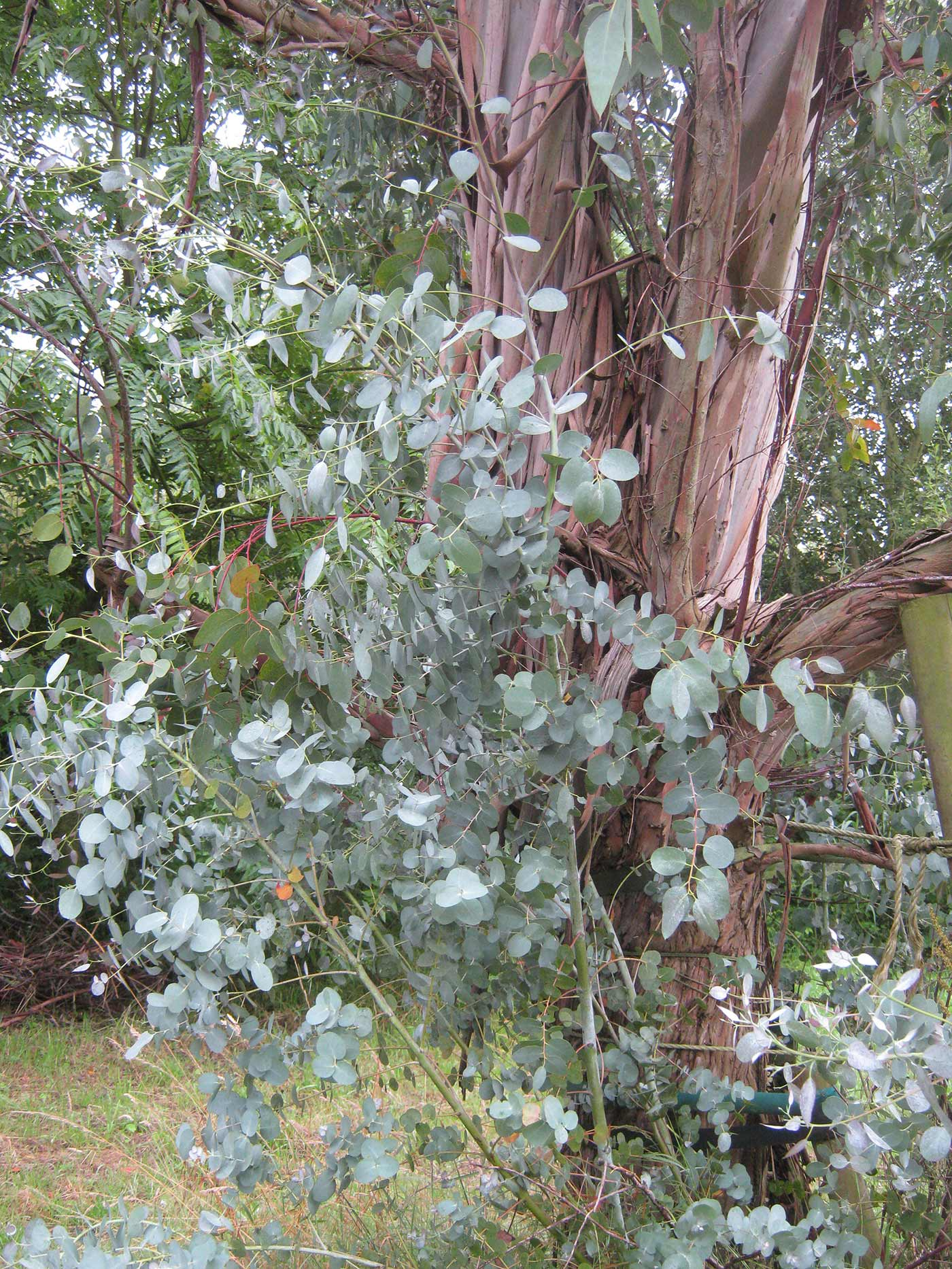 eucalyptus in holland