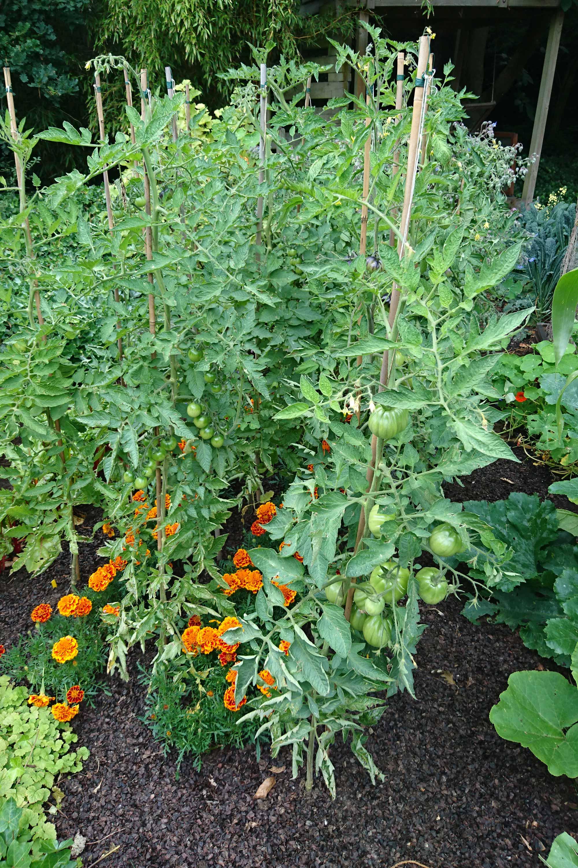 Tomaten in de moestuin toppen
