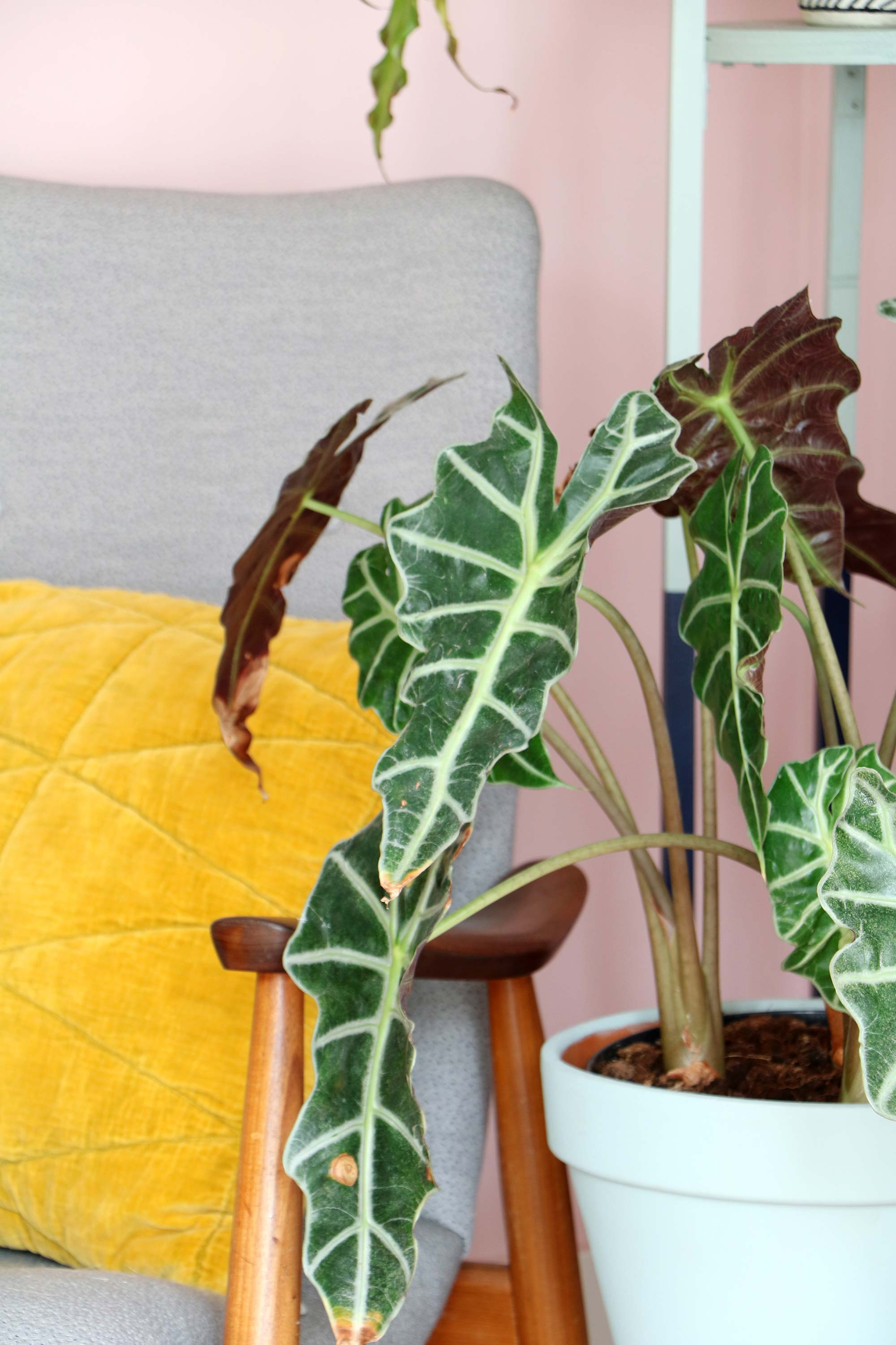 Alocasia Polly plant in zithoek My Attic