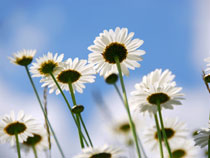 Madelief boem met geel hart en witte blaadjes