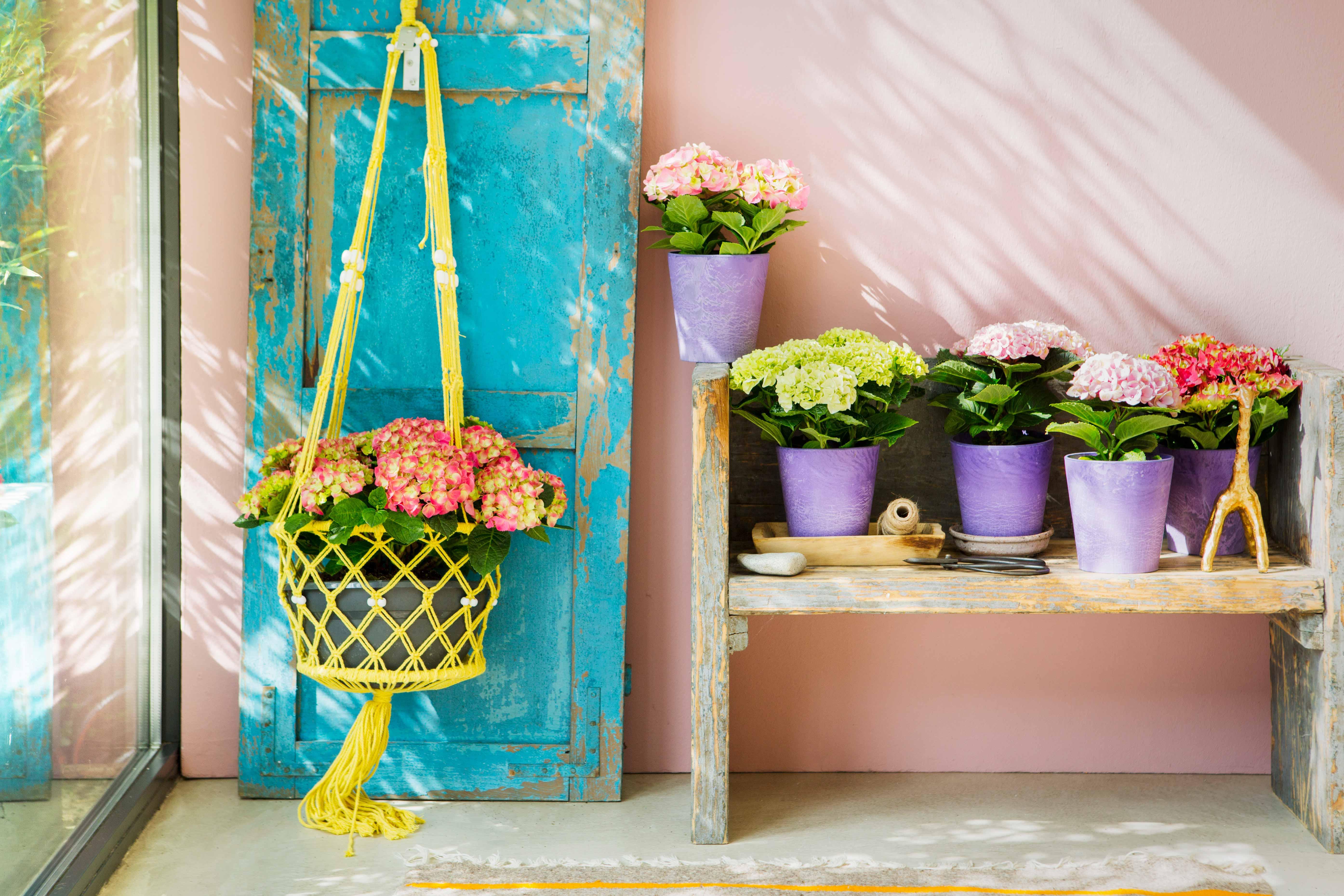hortensia bloemen met pastel roze muur