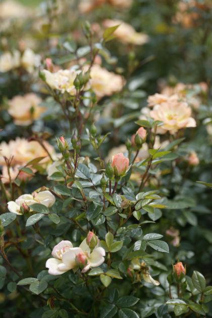 meeldauw bestrijden rozen beschermen
