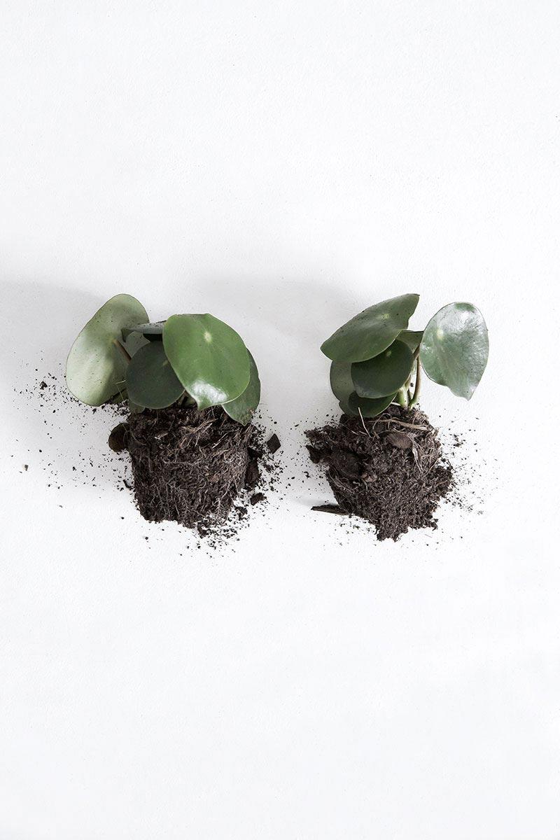 Peperomia bladplant