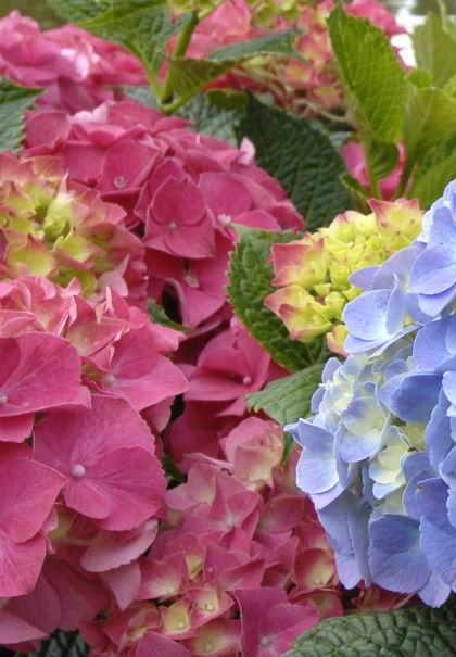 Hortensia kleuren