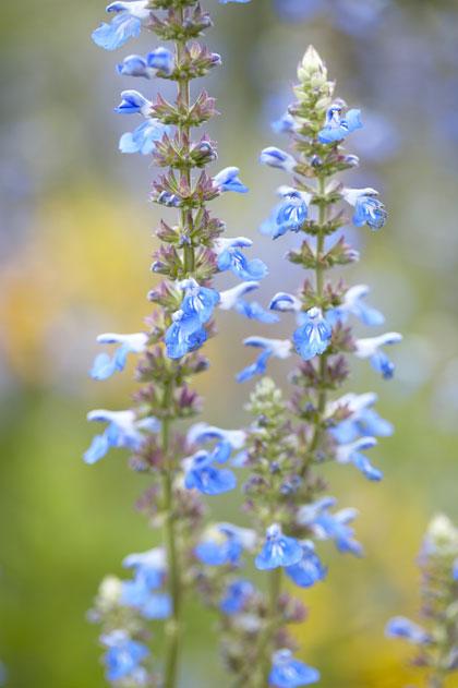 Salvia - Salie