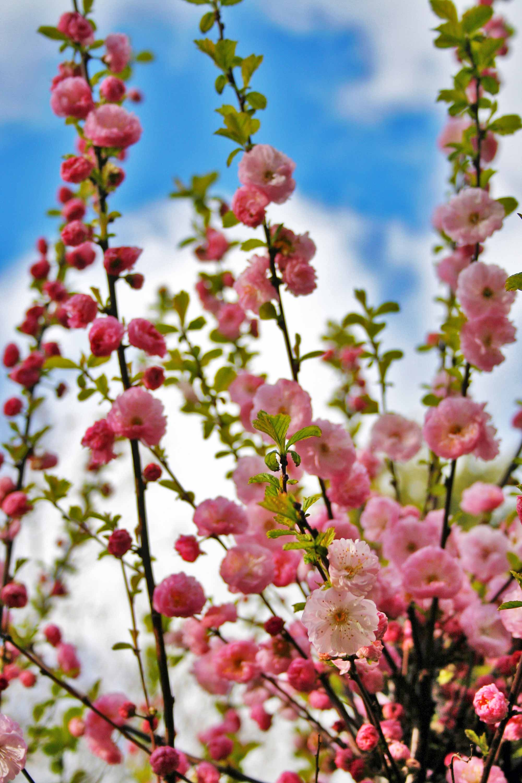 prunus triloba bloemen